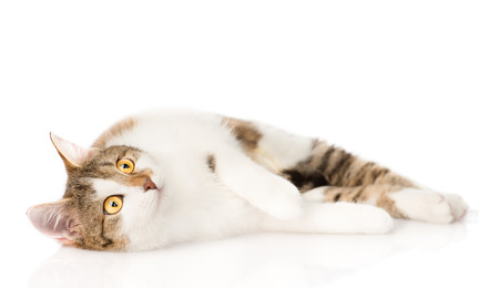 calico cat: cat lying and looking up  isolated on white background Stock Photo