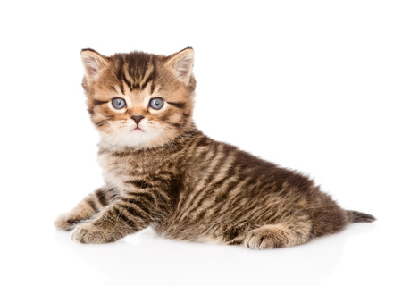 baby british tabby kitten looking at camera  isolated on white background Stock Photo - 27783988