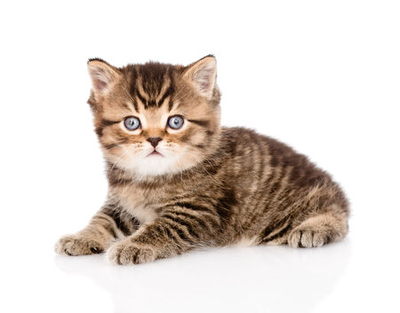 baby british tabby kitten looking at camera  isolated on white background Stock Photo - 27882222
