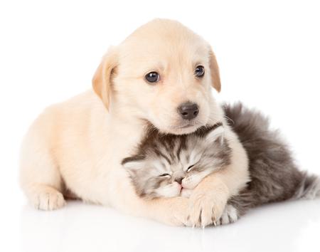 puppy love: golden retriever cachorro de perro que abraza el gato brit�nico aislado en el fondo blanco