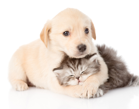 kitten small white: golden retriever puppy dog hugging british cat  isolated on white background