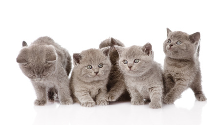 british pussy: group british shorthair kittens looking at camera  isolated on white background Stock Photo