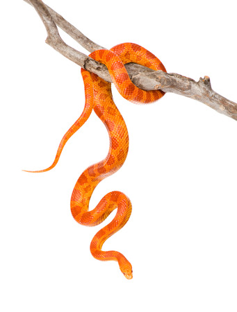 snake eyes: Creamsicle Corn Snake  Elaphe guttata guttata  on a dry branch  isolated on white background Stock Photo