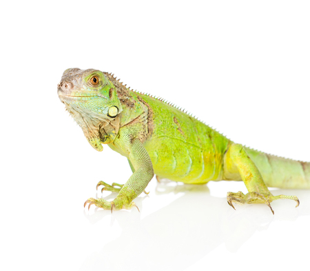 bearded dragon lizard: Closeup green iguana in profile  isolated on white background Stock Photo