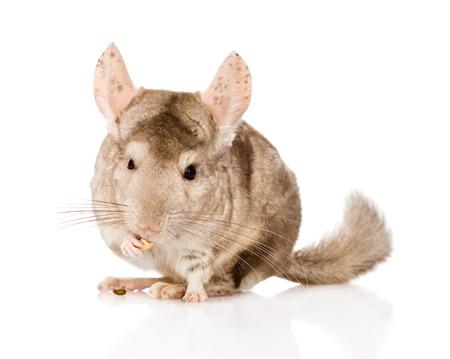 lanigera: chinchilla chews food  isolated on white background