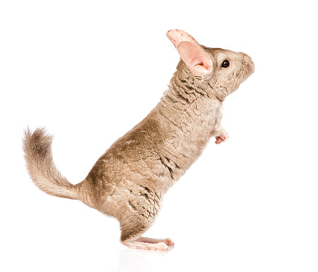 lanigera: chinchilla standing on hind legs in profile  isolated on white background