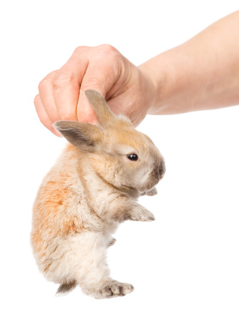 human hand holding a newborn rabbit  isolated on white background photo