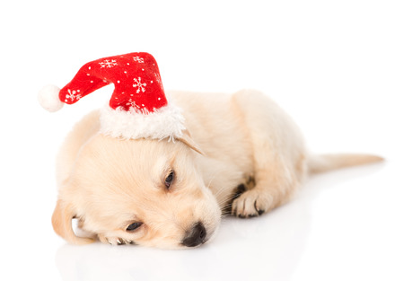 golden retriever puppy dog with santa hat  isolated on white background photo