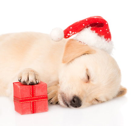 golden retriever puppy dog with gift and santa hat  isolated on white background photo