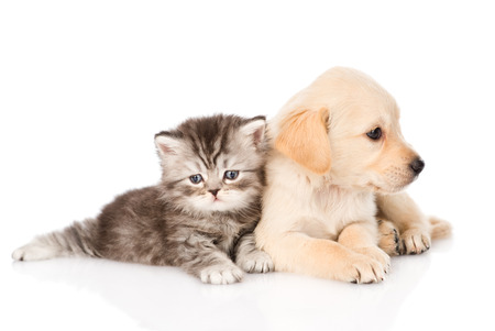 golden retriever puppy dog and british tabby cat lying together  isolated on white background