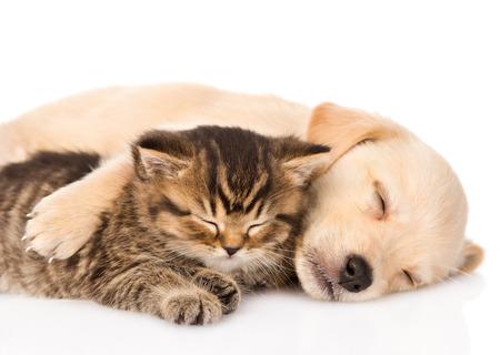 pareja durmiendo: golden retriever cachorro de perro y gato durmiendo brit�nico junto aislados sobre fondo blanco Foto de archivo