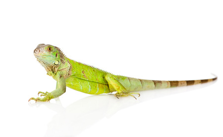green iguana in profile  isolated on white background Stock Photo