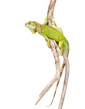 green agama crawling on dry branch  isolated on white background photo
