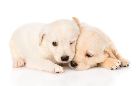 two golden retriever puppy dog lying together  isolated on white background photo