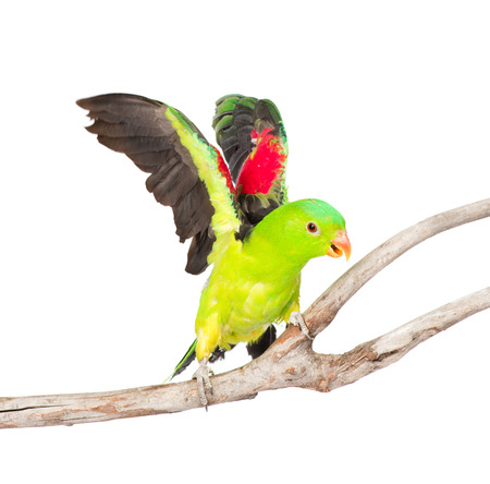 parrot flying: flying up Red-Winged Parrot  Aprosmictus erythropterus   isolated on white background