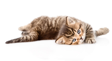 playing british kitten  isolated on white background Stock Photo
