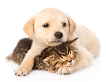 animals together: golden retriever puppy dog hugging sleeping british cat  isolated on white background