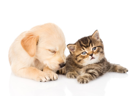 sleeping golden retriever puppy dog and british cat together  isolated on white background photo
