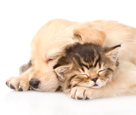 Closeup golden retriever puppy dog sleep with british kitten  isolated on white background