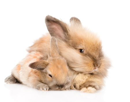 adult  rabbit hugging a newborn bunny  isolated on white background