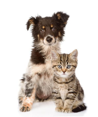 dog and Scottish kitten  looking at camera  isolated on white background