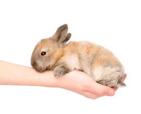 newborn rabbit on a person s palm  isolated on white background photo