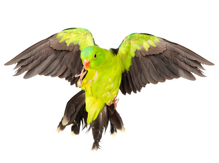 parrot flying: Red-Winged Parrot  Aprosmictus erythropterus   isolated on white background