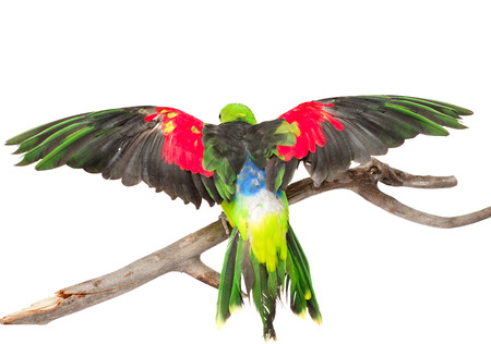 Rear view Red-Winged Parrot  Aprosmictus erythropterus   isolated on white background photo