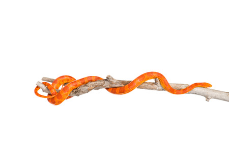 coiled: Creamsicle Corn Snake  Elaphe guttata guttata  on a dry branch  isolated on white background Stock Photo