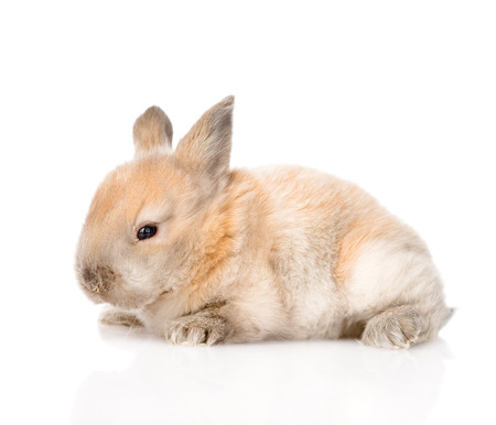 newborn rabbit in profile  isolated on white background photo