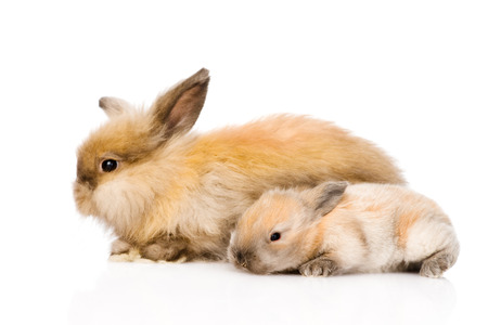 lop eared: Two cute rabbits in profile  isolated