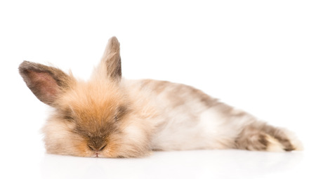 jhy: fluffy rabbit looking at camera  isolated