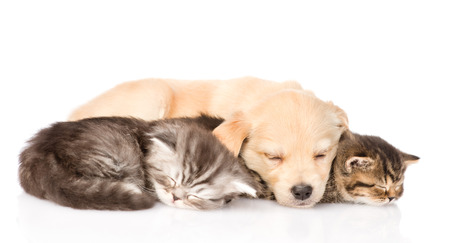 golden retriever puppy dog sleep with two british kittens  isolated on white background photo