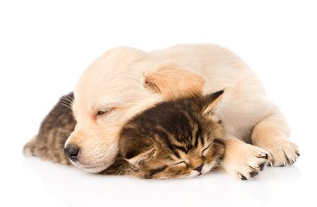 kitten small white: golden retriever puppy dog sleep with british kitten  isolated on white background