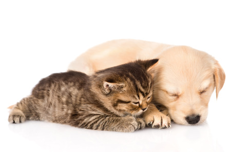 golden retriever puppy dog and british cat sleeping together  isolated on white  photo