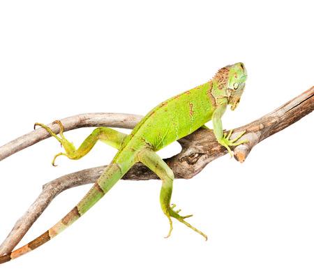 green iguana crawling on dry branch  isolated on white  photo