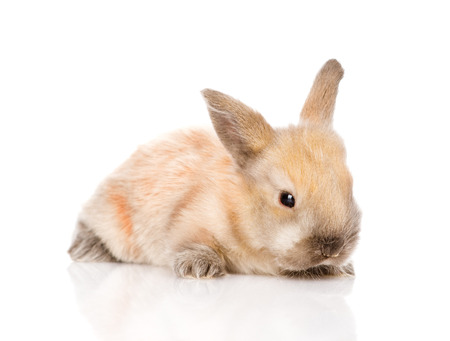 newborn rabbit  isolated on white  photo