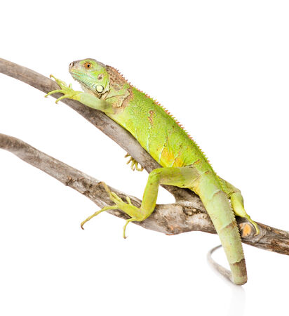 green iguana crawling on dry branch  isolated on white background photo