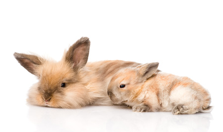 adult rabbit and newborn bunny  isolated on white background photo