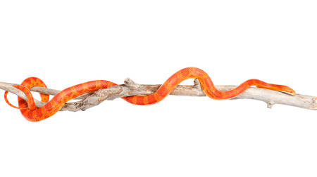 coiled snake: Creamsicle Corn Snake  Elaphe guttata guttata  on a dry branch  isolated on white background Stock Photo