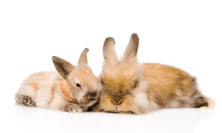 Two cute rabbits in front  isolated on white background photo