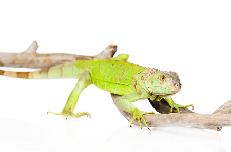 bearded dragon lizard: green agama close up  isolated on white background