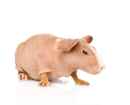 skinny guinea pig looking away  isolated on white background photo