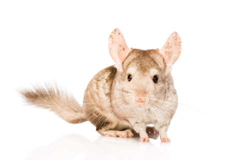 chinchilla in front looking at camera  isolated on white background photo