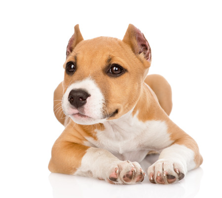 pitbull: stafford puppy lying in front  isolated on white background Stock Photo