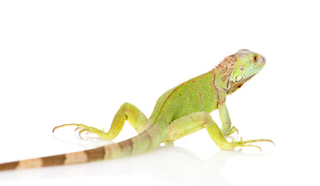green iguana rear view  isolated on white background photo