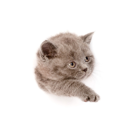 playful scottish kitten in paper side torn hole  isolated on white background