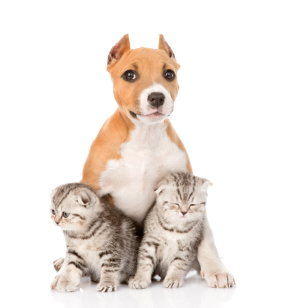 stafford puppy and two scottish kittens sitting together  isolated on white background photo