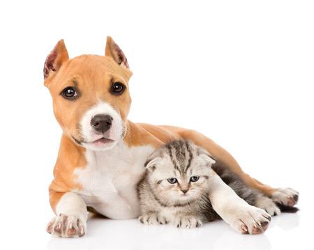 stafford: stafford cucciolo che abbraccia piccolo gattino scozzese isolato su sfondo bianco Archivio Fotografico