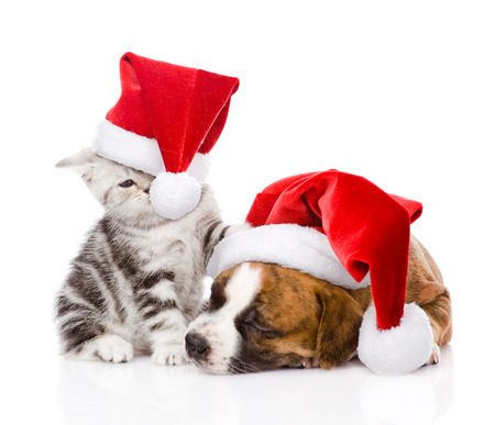 Scottish kitten and small puppy with santa hat  isolated on white background